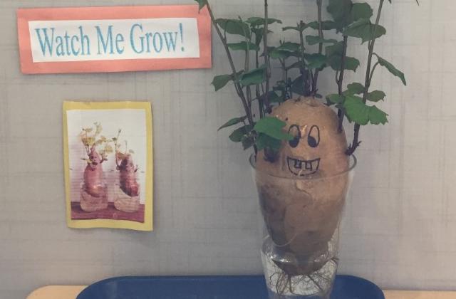 sweet potato experiment