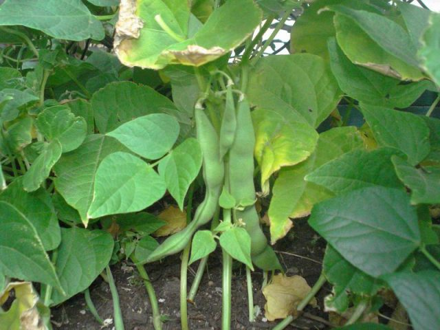 Beans ready to harvest