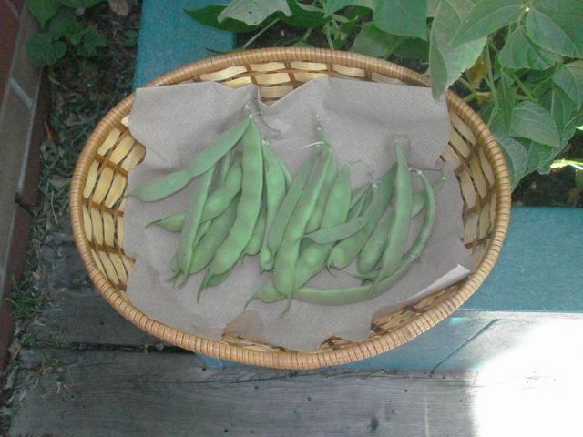 Beans harvested in a basket